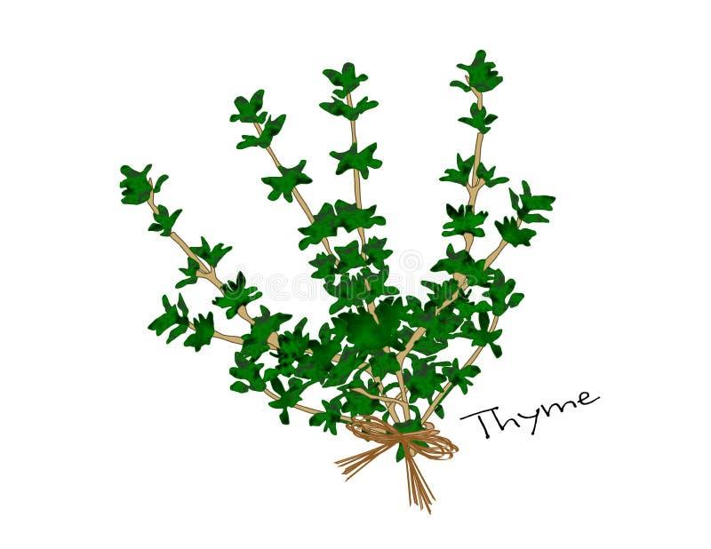 thyme ilustração do vetor