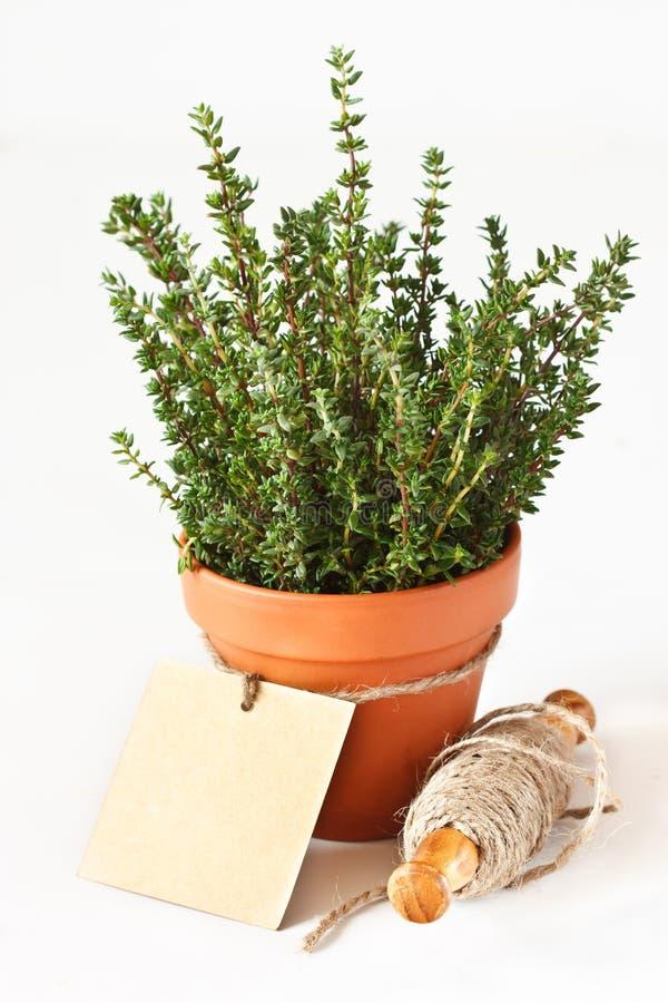 Thyme in een pot. stock afbeeldingen