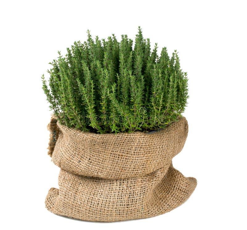 Thyme in een pot royalty-vrije stock afbeeldingen