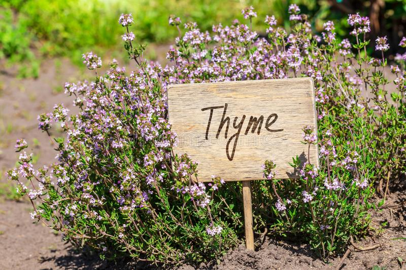 Thyme in garden with label. Blooming thyme in garden with wooden label royalty free stock photos