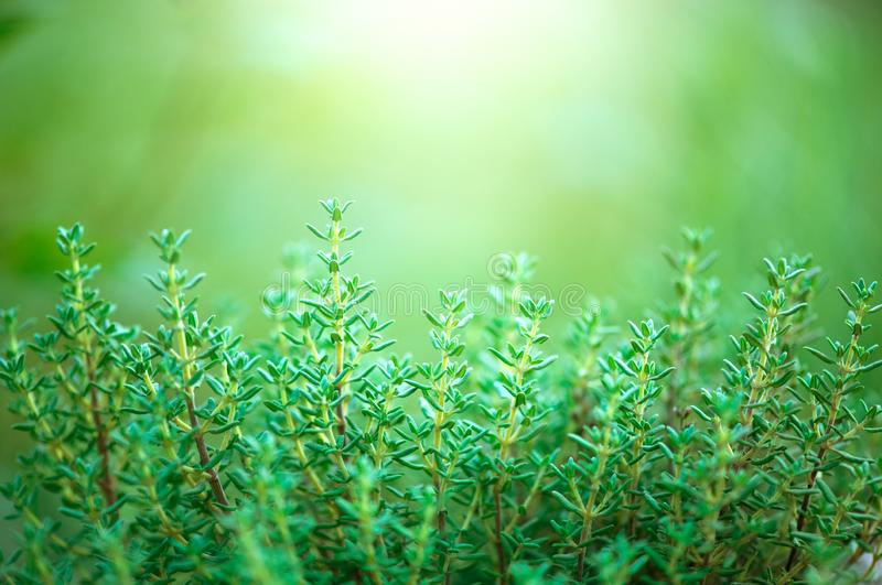 Thyme herb growing in a garden. Organic herbs. Thyme plant close-up. Aromatic herbs. Seasoning, cooking. Ingredients royalty free stock image