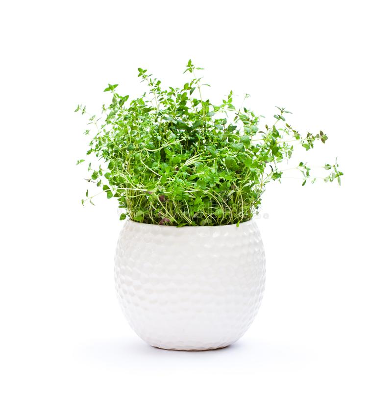 Thyme herbs in pot isolated on white background royalty free stock photos