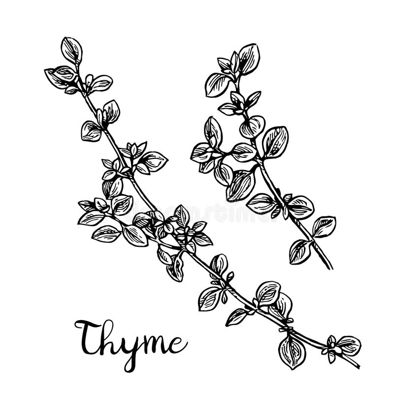 Thyme ink sketch. Isolated on white background. Hand drawn vector illustration. Retro style vector illustration