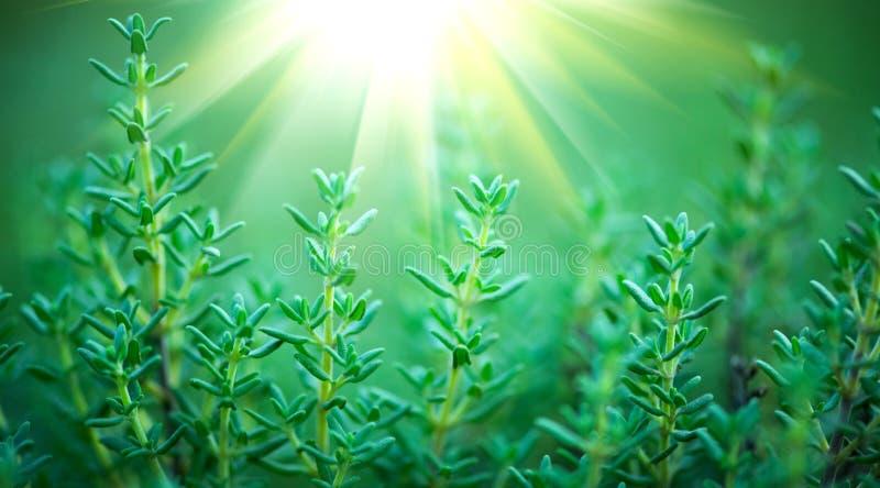 Thyme Organische aromatische kruiden Thyme het groeien in een tuin Het kruiden, kokende ingredi?nten royalty-vrije stock foto's