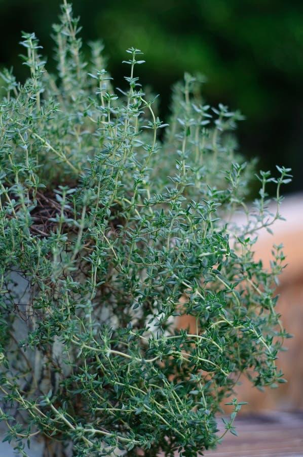 Thyme Plant stock photo
