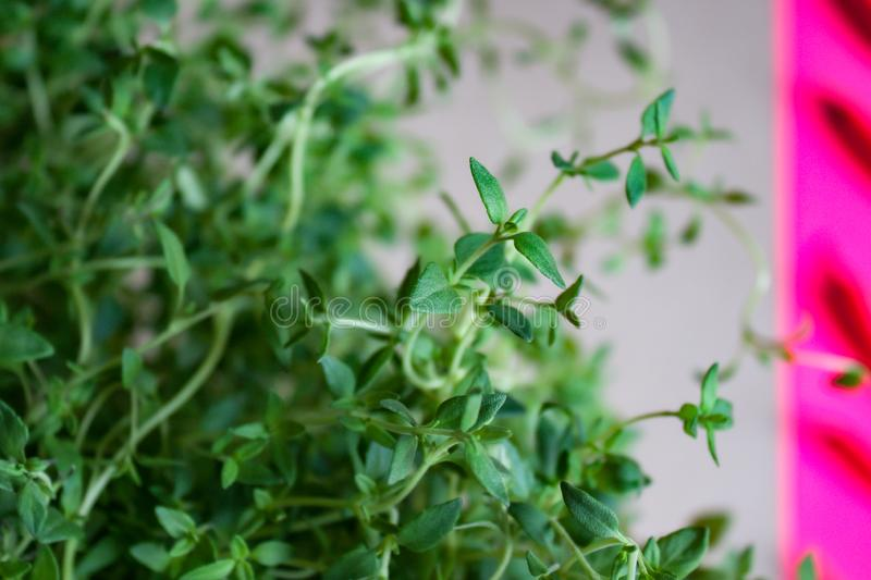 Thyme plant background royalty free stock images