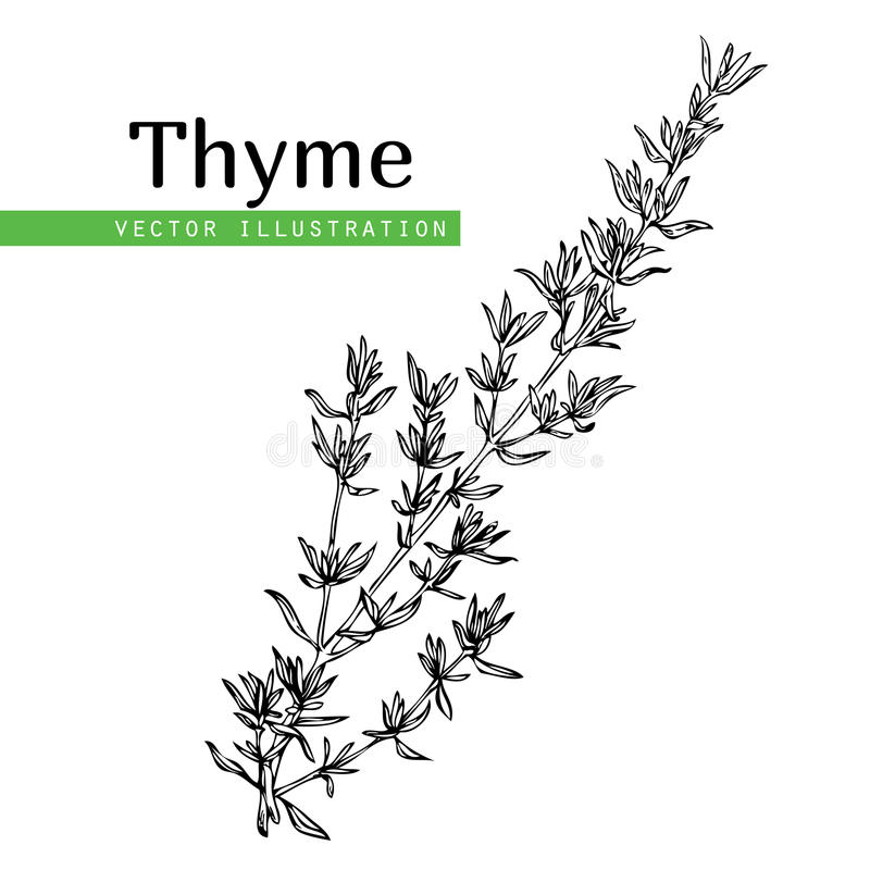 Thyme plant on white. Hand drawn thyme plant with leaves isolated on white background. Vintage spicy herbs sketch. Doodle cooking ingredient, seasoning. Herbal stock illustration