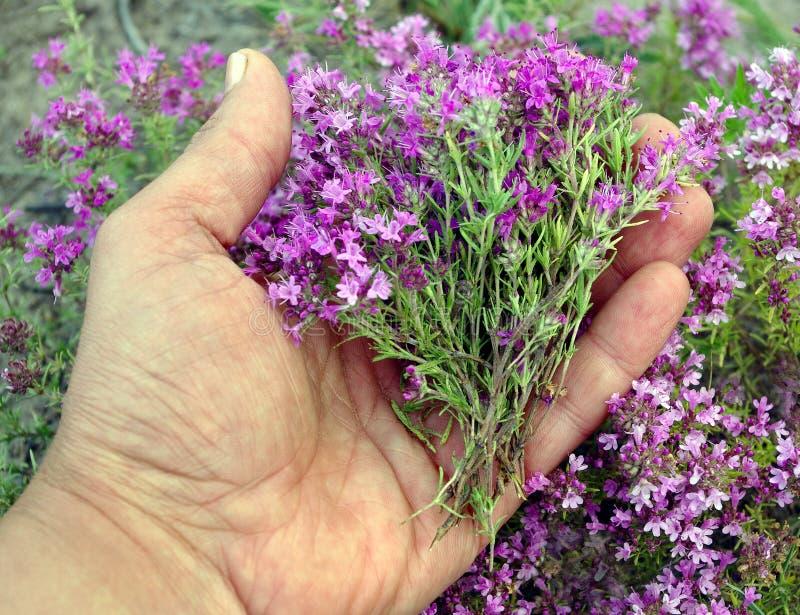 thyme Recolhendo ervas o homem recolhe o thymus da planta Medicina erval alternativa imagens de stock royalty free