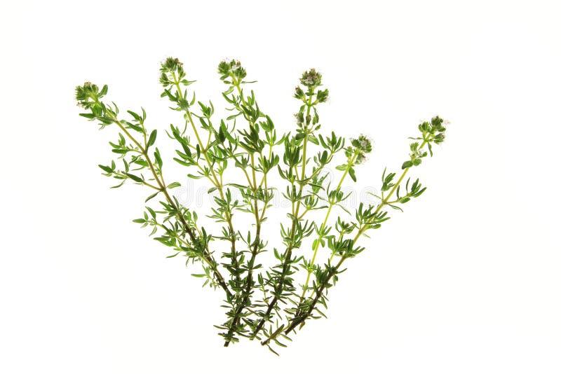 Thyme (vulgaris Zwezerik) stock foto