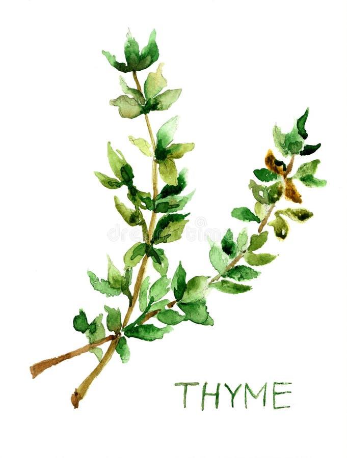 Thyme, waterverfillustratie vector illustratie