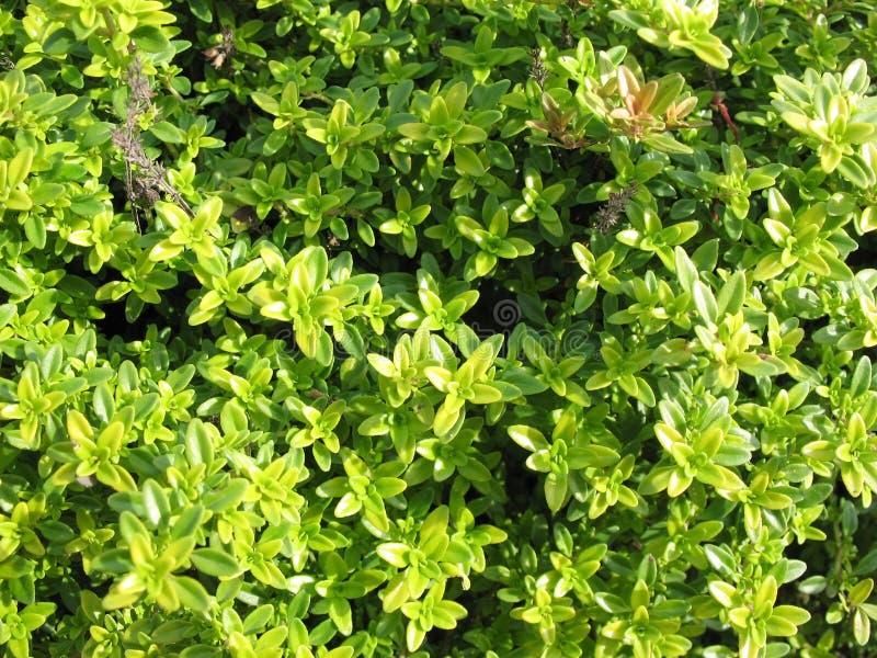 Thymian (Thymusdrüse citriodorus) lizenzfreies stockbild