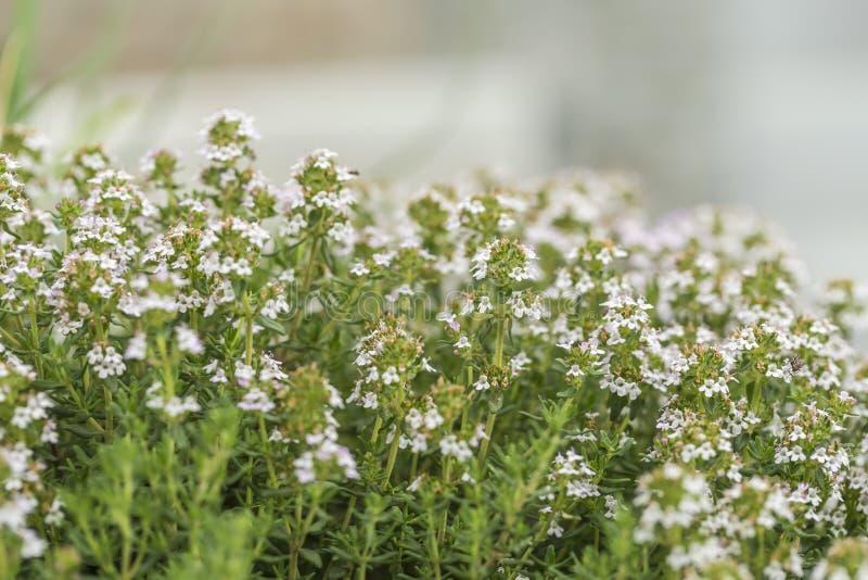 Thymianblüte im Kräutergarten lizenzfreies stockfoto
