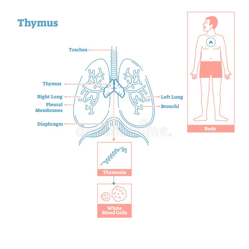 Thymus gland of Endocrine System. Medical science vector illustration diagram. Thymus gland of Endocrine System.Medical science vector illustration diagram stock illustration