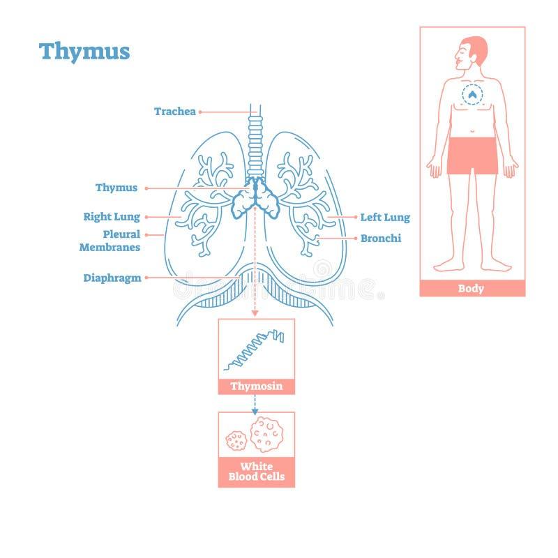 Thymus gruczoł Dokrewny system Nauki medyczne wektorowy ilustracyjny diagram ilustracji