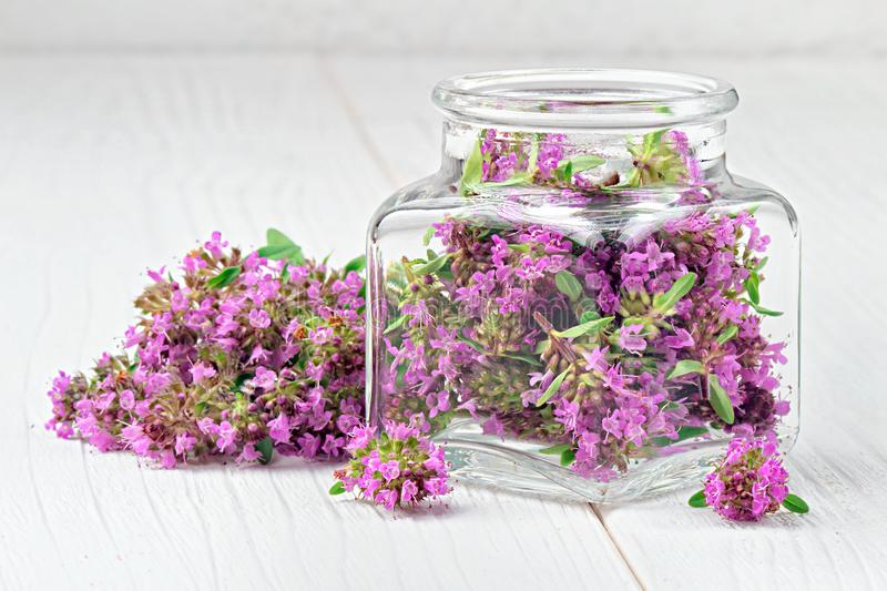 Thymus serpyllum, thyme, wild thyme royalty free stock photography