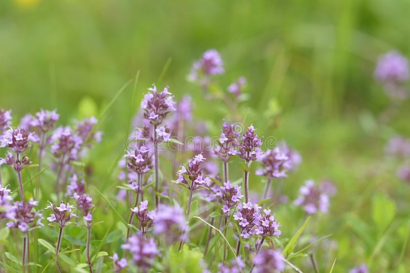 Thymus , thyme - healing herb and condiment growing in nature. stock image