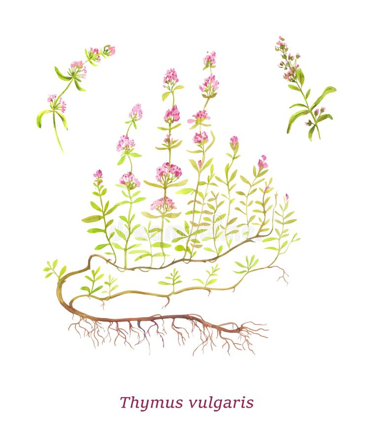 Thymus vulgaris. Watercolor vector illustration. Sort of tea. Twigs and stock image