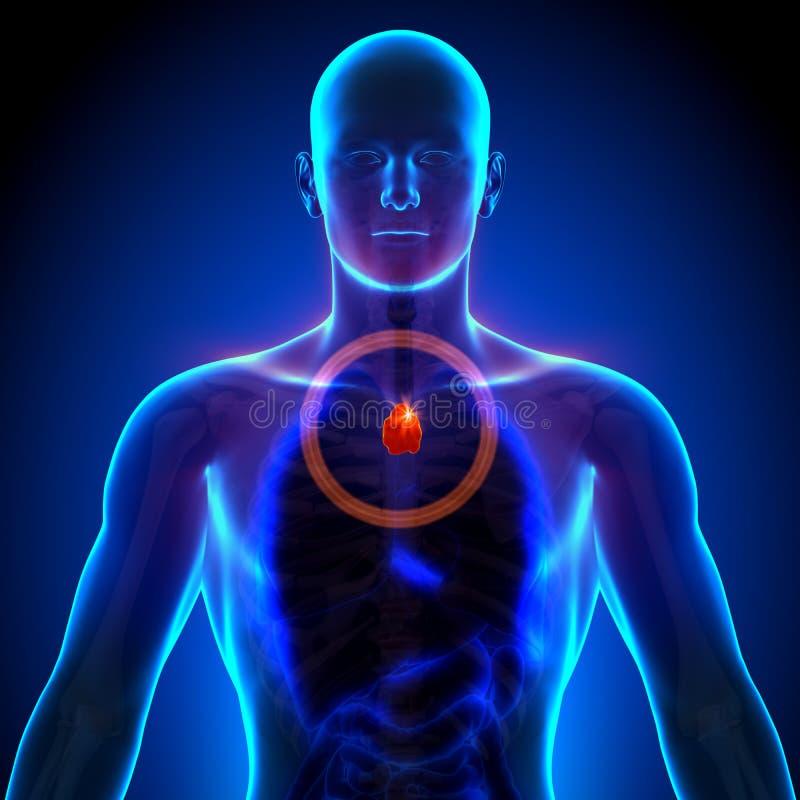 Thymuskörtel - manlig anatomi av mänskliga organ - röntgenstrålesikt stock illustrationer