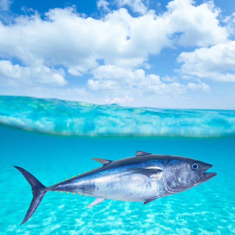 Thynnus del Thunnus dello sgombro di tonno rosso subacqueo fotografie stock libere da diritti
