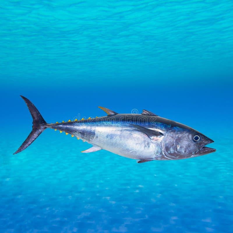Thynnus del Thunnus dello sgombro di tonno rosso subacqueo immagine stock libera da diritti