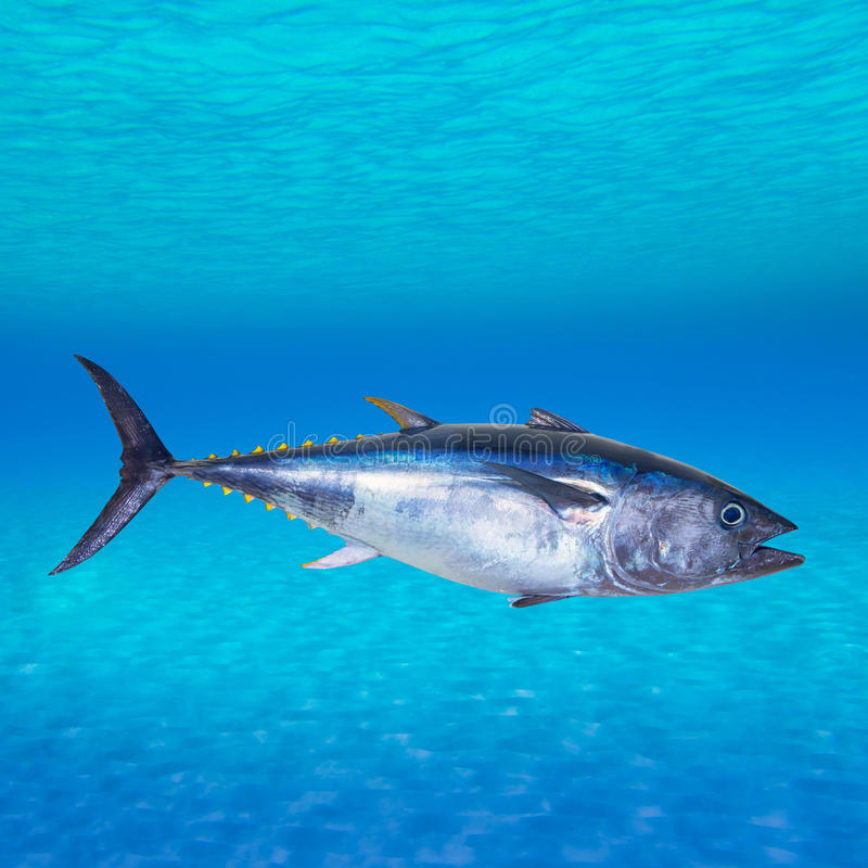 Thynnus Thunnus τόνου τόννων υποβρύχιο στοκ εικόνα με δικαίωμα ελεύθερης χρήσης