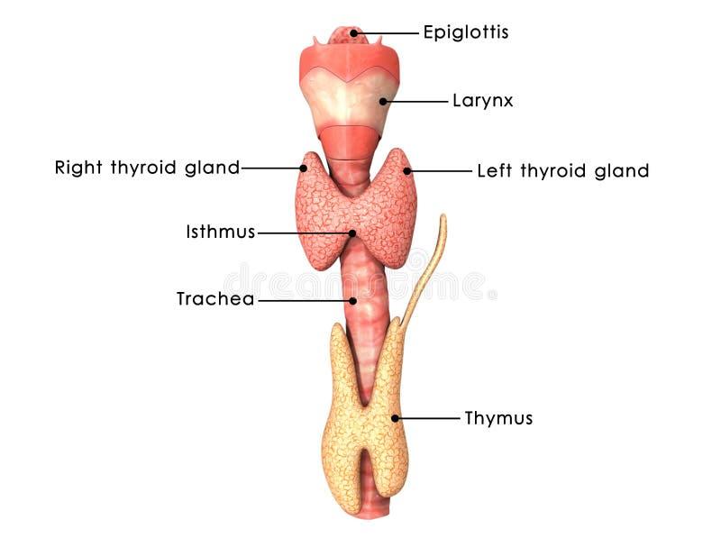 thyroid royaltyfri illustrationer