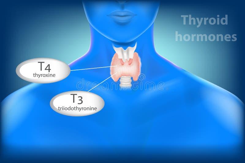 Thyroid Gland Anatomy. Thyroid hormones. Human Thyroid Gland Anatomy. Thyroid hormones, triiodothyronine T3 and thyroxine T4 stock illustration
