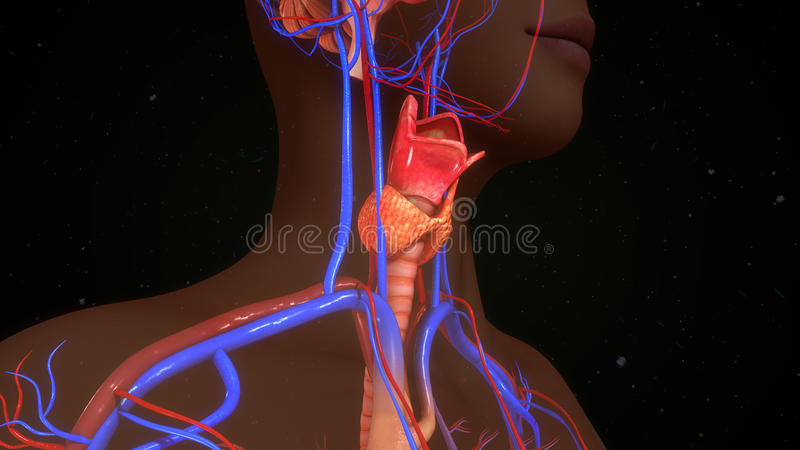 Thyroid gland royalty free illustration