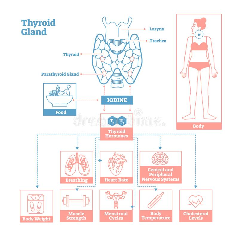 Thyroid Gland of Endocrine System. Medical science vector illustration diagram. Thyroid Gland of Endocrine System.Medical science vector illustration diagram royalty free illustration