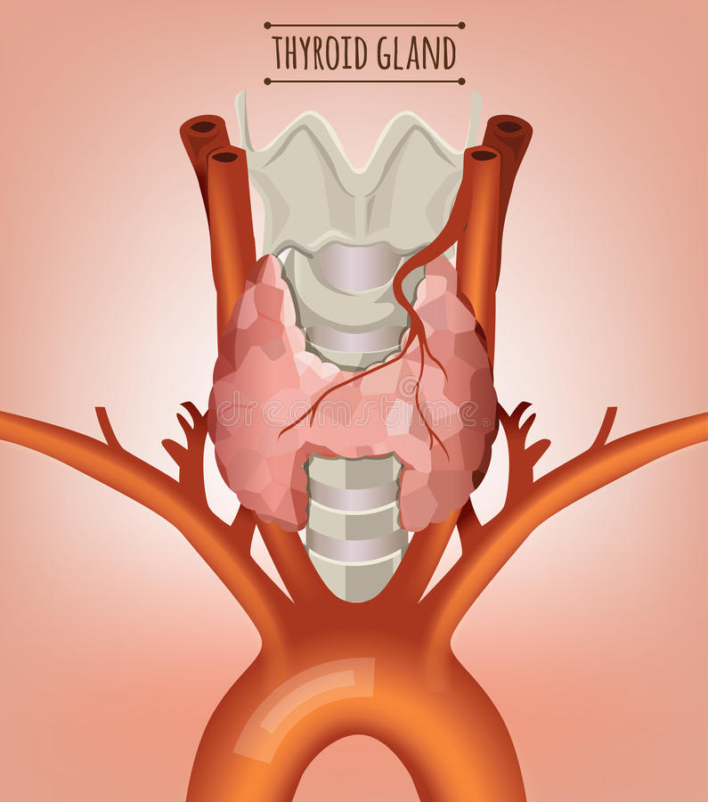 Thyroid Gland Image. Thyroid gland vector illustration. Medical anatomy with throat , bone and trachea on a light pink background stock illustration