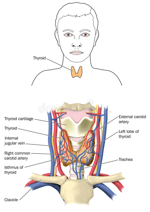 The Thyroid Gland Stock Illustration Illustration Of Structures