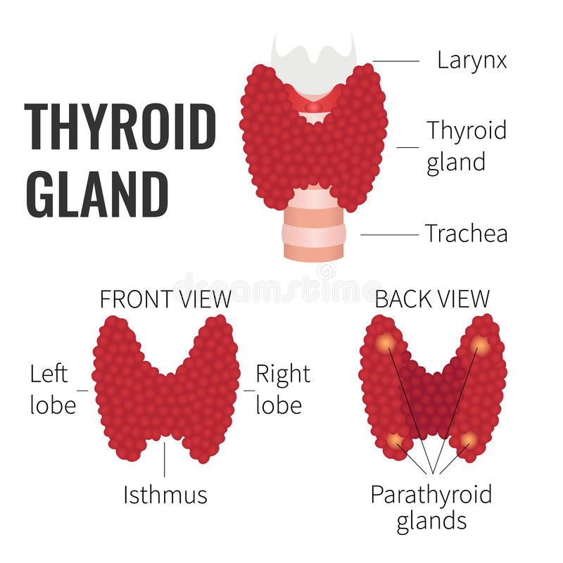 Thyroid gland structure stock illustration