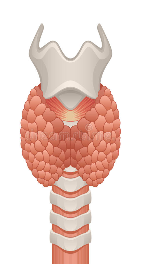 Thyroid gland stock illustration