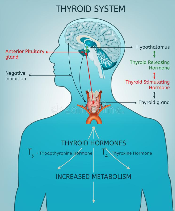 Thyroid System Poater. Thyroid system vector illustration. Medical anatomy with brain, throat, bone and trachea with useful information shown on a human body vector illustration
