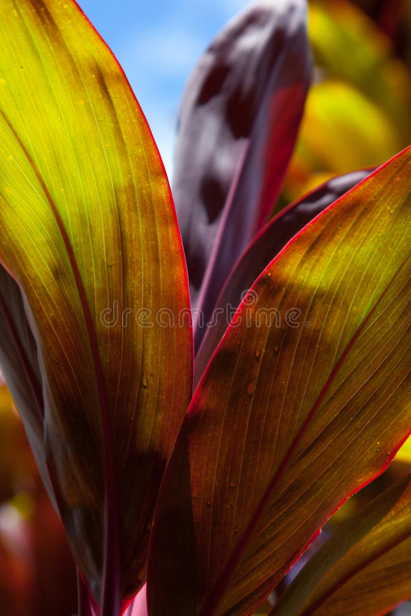 Download Ti leaves stock photo. Image of botanical, tropical, hawaiian - 34000694