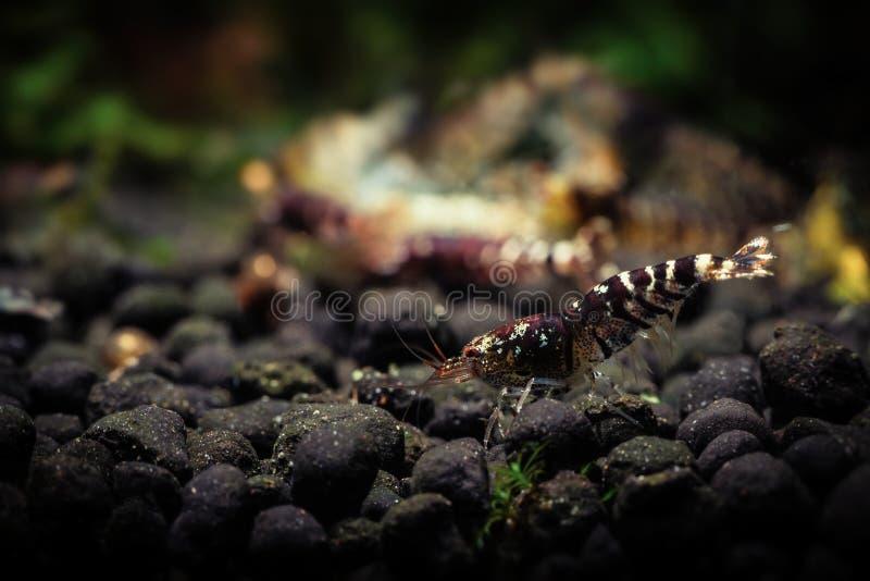 Ti-van het de huisdierenaquarium van bijengarnalen de huisdieren van de het wateraard stock afbeeldingen