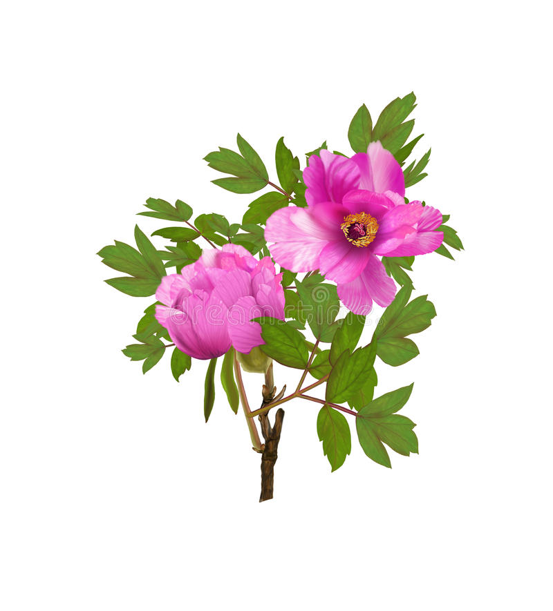 Day peng peony stock illustration