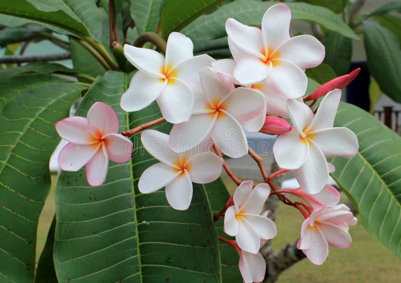 Tiare blomma, tropiska blommor som är mer frangipanier arkivfoto