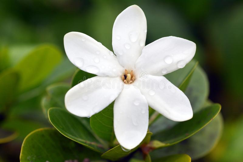 Tiare Maori the National Flower of the Cook Islands stock photo