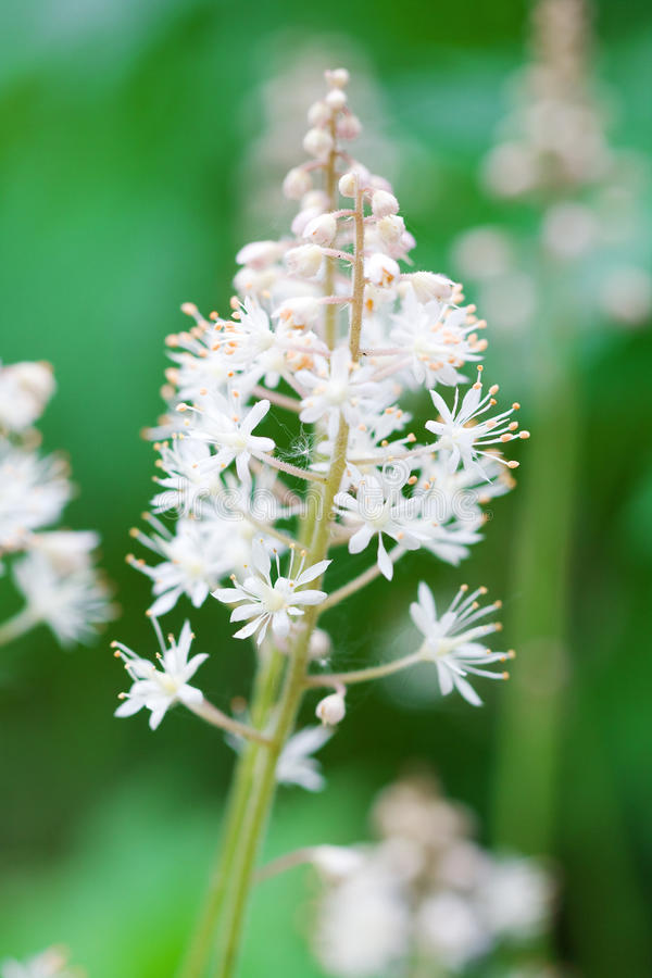 Tiarella cordifolia royalty free stock photography