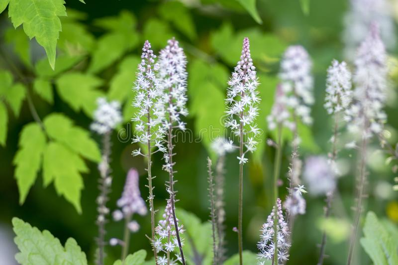 Tiarella Pink Skyrocket ornamental garden flower in bloom, pink white flowering plant. Group of small flowers on one stem royalty free stock image