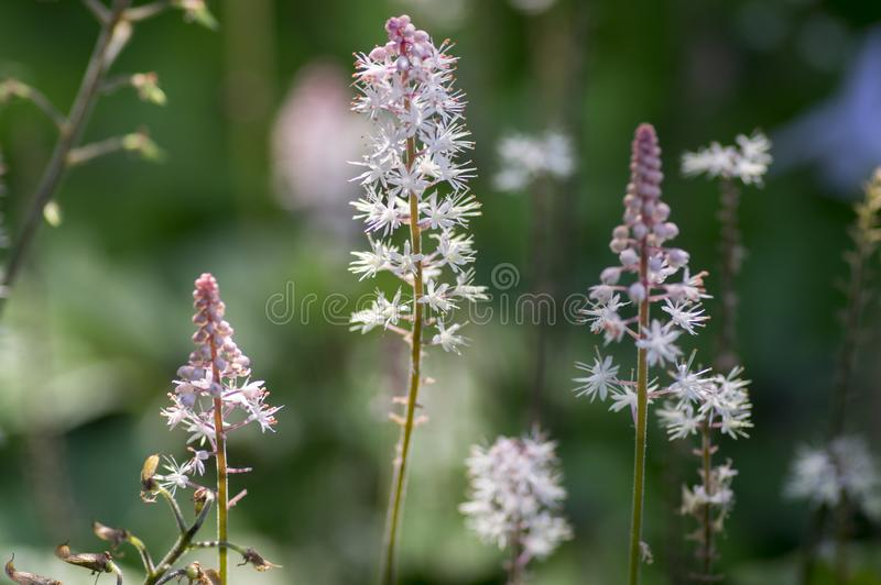 Tiarella Pink Skyrocket ornamental garden flower in bloom, pink white flowering plant. Group of small flowers on one stem royalty free stock photo