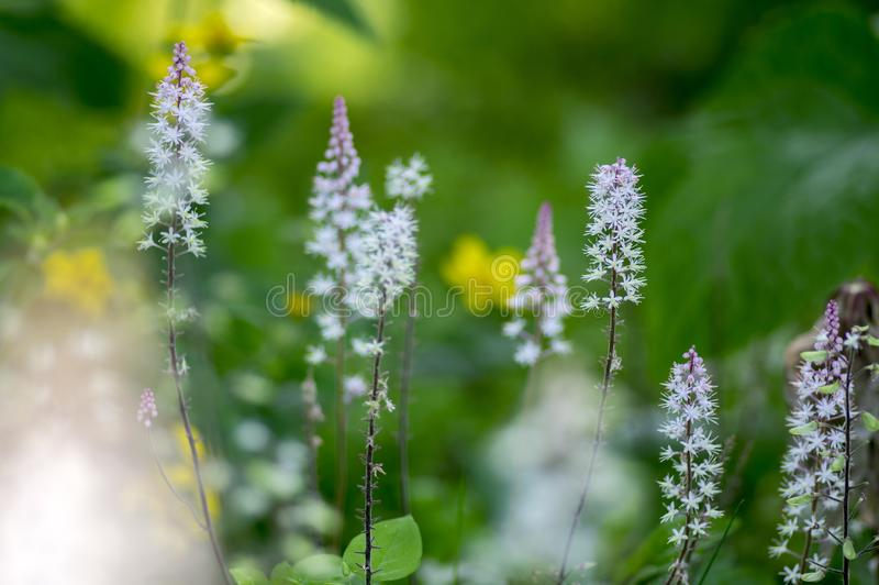 Tiarella Pink Skyrocket ornamental garden flower in bloom, pink white flowering plant. Group of small flowers on one stem stock photo
