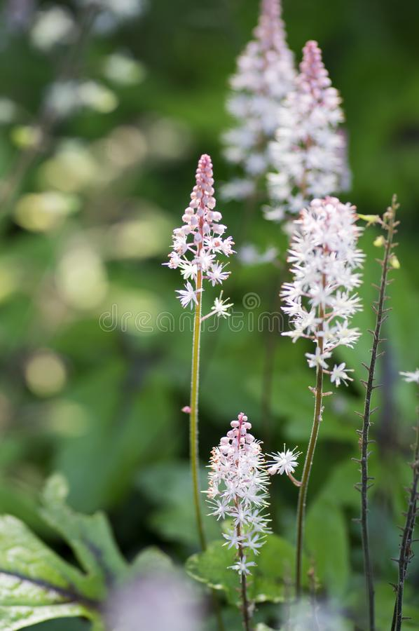 Tiarella Pink Skyrocket ornamental garden flower in bloom, pink white flowering plant. Group of small flowers on one stem royalty free stock images