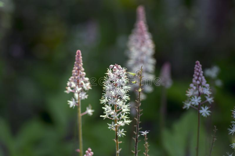 Tiarella Pink Skyrocket ornamental garden flower in bloom, pink white flowering plant. Group of small flowers on one stem stock photos