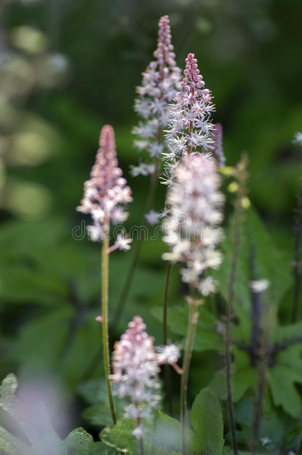 Tiarella Pink Skyrocket ornamental garden flower in bloom, pink white flowering plant. Group of small flowers on one stem royalty free stock photography