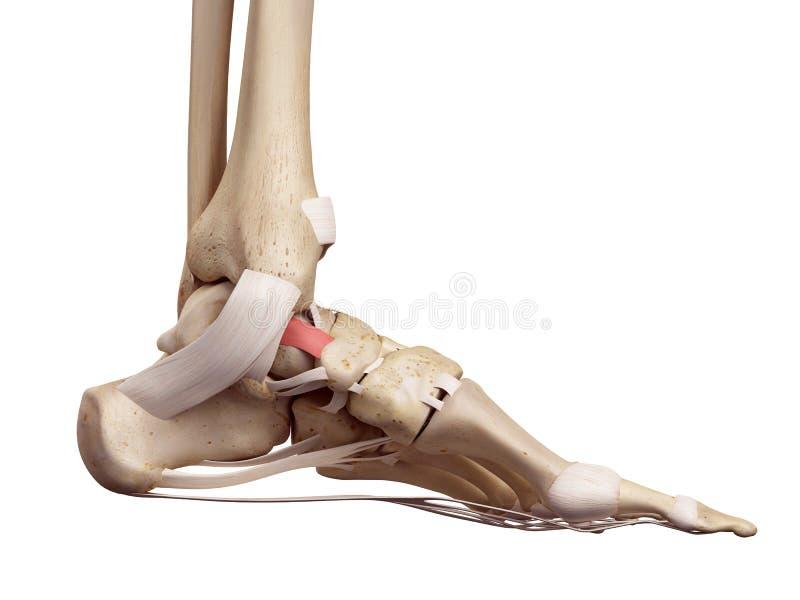 tibeonavicular韧带 向量例证