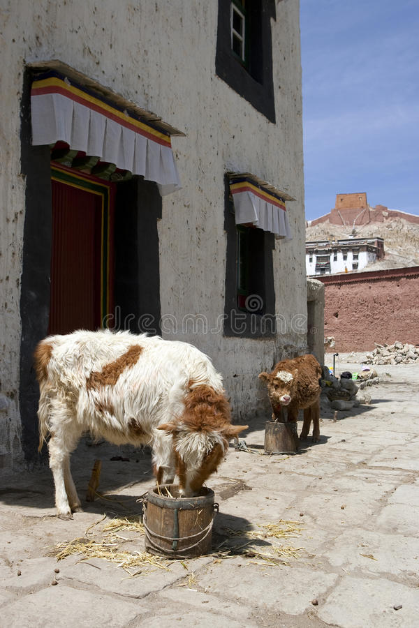 Download Tibet stock photo. Image of blue, asia, mammal, livestock - 20961008