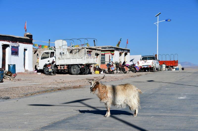 Tibet, China, 11 Juni, 2018 De geit kruist de weg in dorp van Yakra in de zomer royalty-vrije stock afbeeldingen