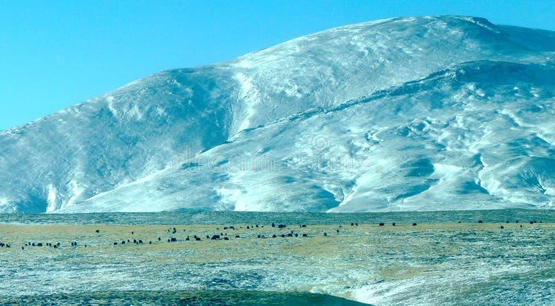 Tibet-Ebenen mit Yak stockfotos